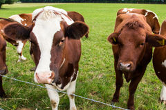 Cows in the field in green meadow farm village Stock Photography