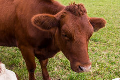Cows in the field in green meadow farm village Stock Photo