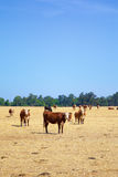 Cows in a Field Stock Photography