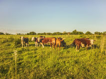 Cows in the Field Royalty Free Stock Photos