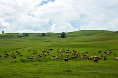 Cows in a field. Cows herd eating grass in a field in Romania Royalty Free Stock Images