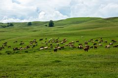 Cows in a field. Cows herd eating grass in a field in Romania Royalty Free Stock Photos