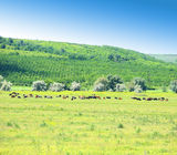 Cows on a field. Royalty Free Stock Photo