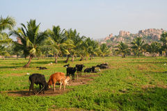 Cows in a field india Royalty Free Stock Image