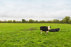 Cows in field, Ireland. Black and white cows in green fields of rural Ireland Stock Images