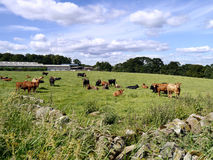 Cows in field looking to camera Stock Photography