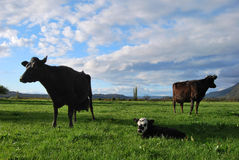 Cows in the field Stock Photos
