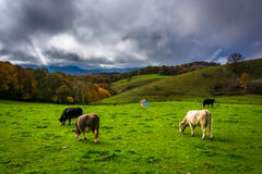 Cows in a field at Moses Cone Park, on the Blue Ridge Parkway Stock Images