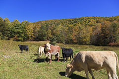 Cows in a Field royalty free stock images