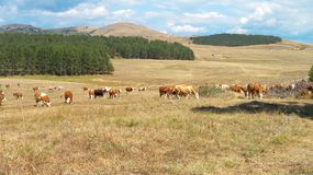 Cows in the field. Mountain Zlatibor, Serbia royalty free stock photos