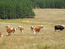 Cows in the field. Mountain Zlatibor, Serbia stock images