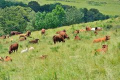 Cows on a Field. In the mountains of Vic-sur-Cere, France Stock Images