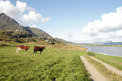 Cows  in a field near  Lofoten's Fjord Stock Photography