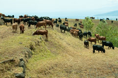 Cows in field near ocean. A small herd of cow cattle near the coast of the ocean Stock Image