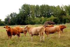 Cows in a field Royalty Free Stock Photos
