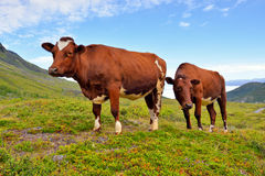 Cows on the field. Norway. Europe Royalty Free Stock Images