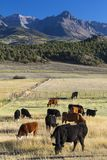 Cows in field outside of Ridgway Mountains, under view of San Ju royalty free stock photo