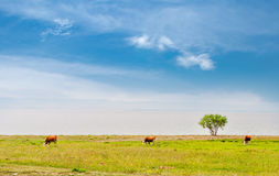 Cows  on the field. Cows pasturing on the field close to lake Stock Photography