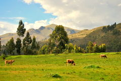 Cows in the field. Picture of a herd of cows in some fields in Cusco, Perú, surrounded by the Andes mountains royalty free stock image