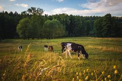 Cows on the field, polish rural landscape, late evening golden l royalty free stock image