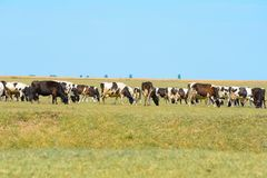 Cows on field. Cows are raised as livestock for meat (beef and veal), as dairy animals for milk and other dairy products Royalty Free Stock Photography