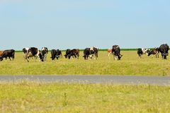 Cows on field. Stock Image