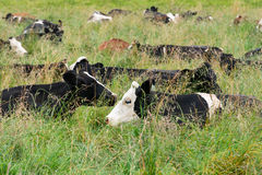 Cows in the field Stock Image