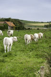 Cows in a field. In rows Stock Image