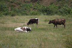 Cows on a field. Several cows on a grass field, grazing free stock photos