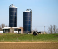 Cows in field with Silos Royalty Free Stock Images