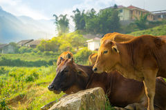 Cows on field Royalty Free Stock Photography