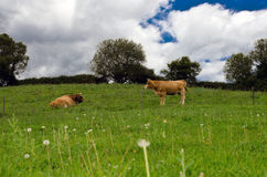 Cows in field with stormy weather Royalty Free Stock Photography