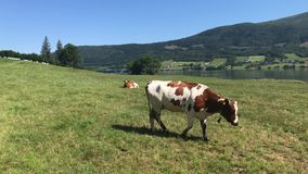 Cows on a field on a summer day stock video
