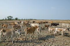 Cows in the field Thailand Stock Image