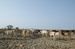 cows in the field Thailand Royalty Free Stock Photos