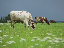 Cows in the field. Three cows, mottled and brown, eating grass on a green field, meadow, on a blurry background of dark, grey, dull sky before thunderstorm with Stock Photo