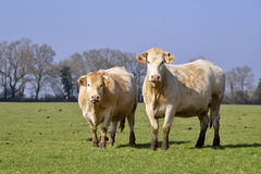 Cows in field Stock Images