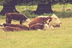 Cows in the field, UK Royalty Free Stock Image