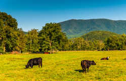 Cows in a field and view of the Blue Ridge Mountains in the Shen Stock Images