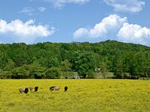 Cows in a Field of Wildflowers. A beautiful landscape of cows in a field with yellow wildflowers Royalty Free Stock Photography