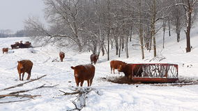Cows in a field in winter stock video