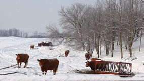 Cows in a field in winter in snow stock footage