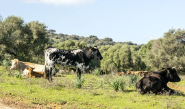 Cows. In the fields of the Spanish province of Cadiz on a sunny day Stock Images