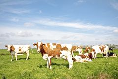 Cows in the fields in springtime Royalty Free Stock Photos