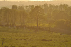 Cows.fields and trees at dusk Royalty Free Stock Images