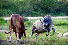 Cows fight Stock Image