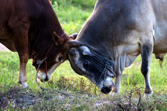Cows fight Royalty Free Stock Photo