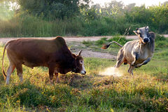 Cows fight Royalty Free Stock Photography