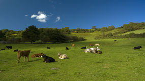 Cows in a filed. Cows in a large field on a sunny day Stock Image