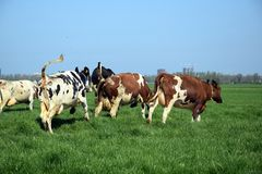Cows for the first time outside royalty free stock images